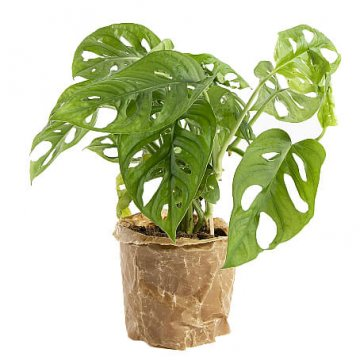 Monstera Monkey